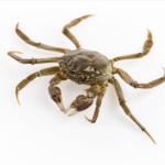 外江活水养殖螃蟹 母蟹 2两