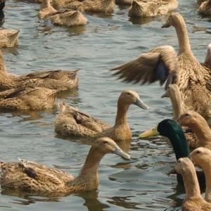 河边散养2年高邮麻鸭 3.5~4.0斤