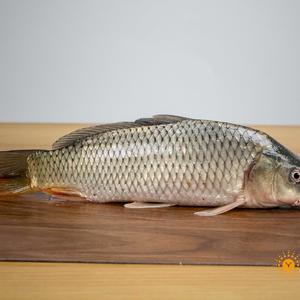 江水野生鲤鱼