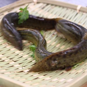 芦苇滩野生泥鳅