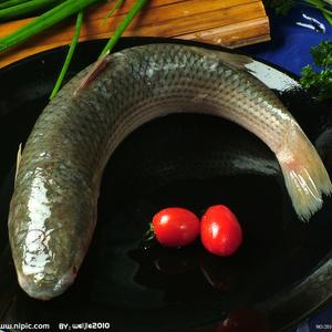茅山水库野生螺蛳青鱼