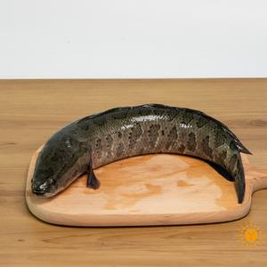 江水野生黑鱼