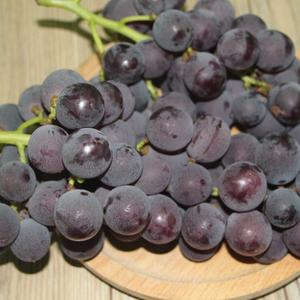 避雨栽培巨峰葡萄