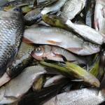 外江野生杂鱼