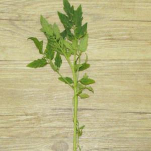 蔬果苗 小番茄