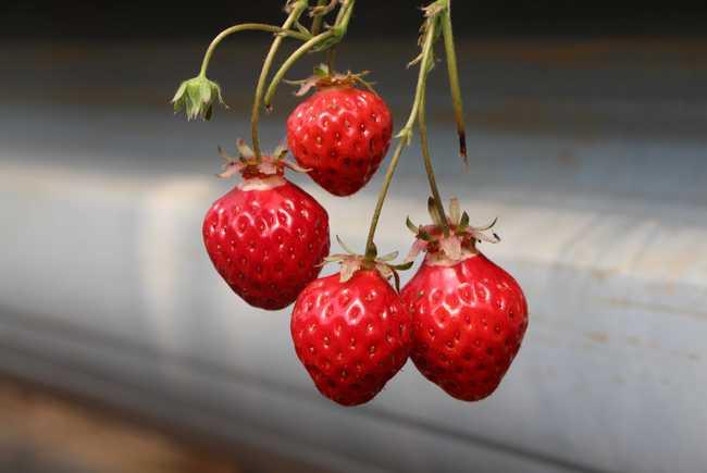 """12月之""""无农药草莓和猴头菇银耳""""餐桌溯源开始报名啦!"""