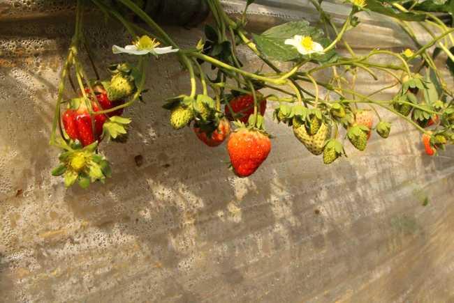 真正的生长过程无农药的农科院草莓要来咯~