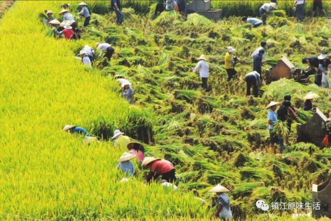 """11月11日首届""""开镰节""""体验水稻收割农耕文化"""