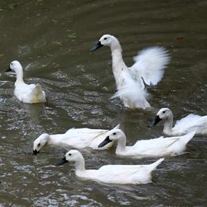 河边散养2年乌骨鸭母鸭 4.5~5.0斤