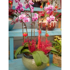 花彩蝴蝶兰(5枝组)瓷盆